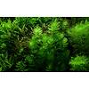 Hornkraut - Ceratophyllum demersum 'Foxtail' - Portion