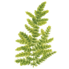 Tropica Hornkraut - Ceratophyllum demersum 'Foxtail' - Portion