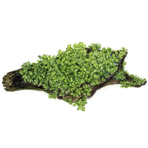 Riccardia chamedryfolia - Portion
