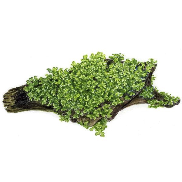 Tropica Riccardia chamedryfolia - Portion