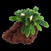 Bucephalandra 'Wavy Green' auf Lavastein
