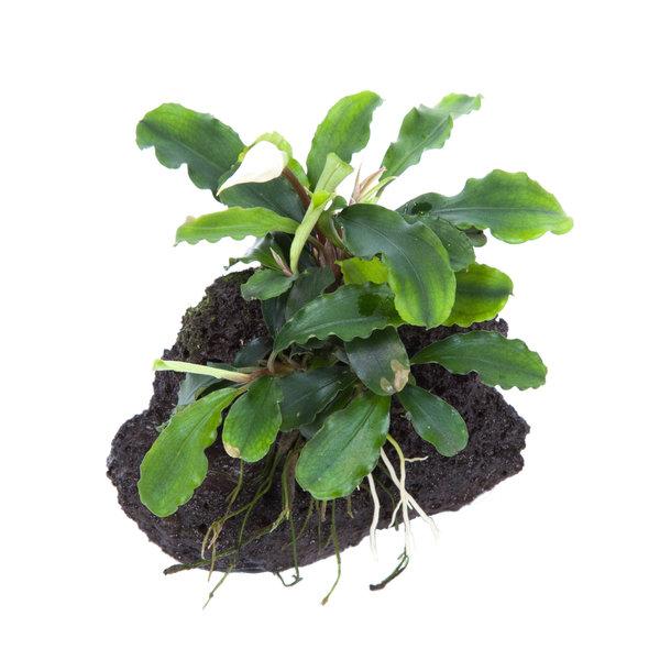 Tropica Bucephalandra 'Wavy Green' auf Lavastein