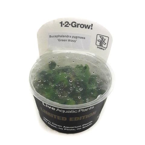 Limited Edition: Bucephalandra pygmaea 'Green Wavy'