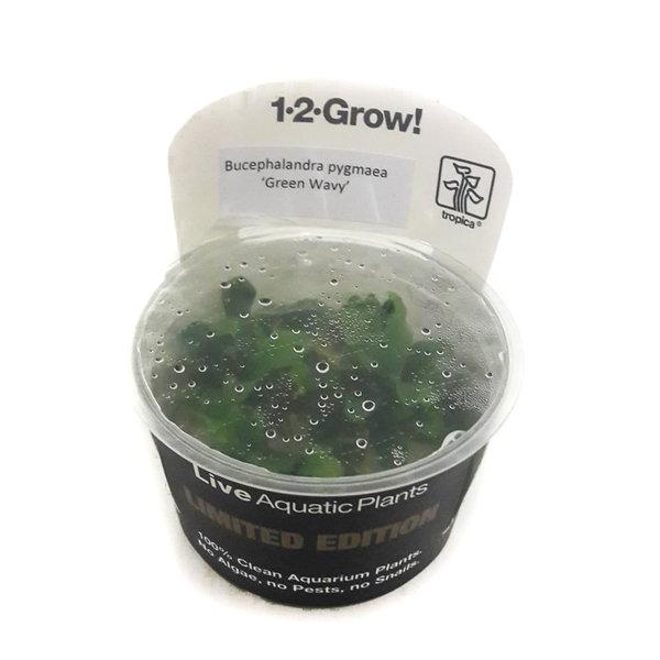 Tropica Limited Edition: Bucephalandra pygmaea 'Green Wavy'