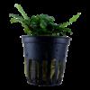 Bucephalandra pygmaea 'Wavy Green'