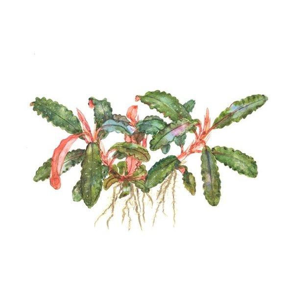 Tropica Bucephalandra sp Red