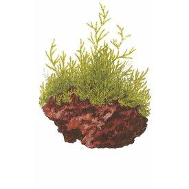 Tropica Taxiphyllum barbieri 'Javamoos' auf Lavastein