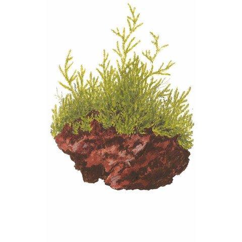 Taxiphyllum barbieri 'Javamoos' auf Lavastein