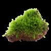 Taxiphyllum barbieri - Javamoos auf Lavastein