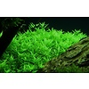 Limited Edition: Rotala 'Green'
