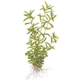 Tropica Rotala rotundifolia 'Green'
