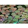 Phyllanthus fluitans InVitro