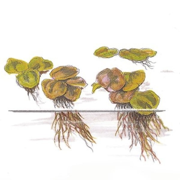 Tropica Phyllanthus fluitans InVitro