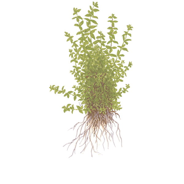 Tropica Hemianthus micranthemoides