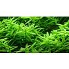 Rotala rotundifolia 'Green'