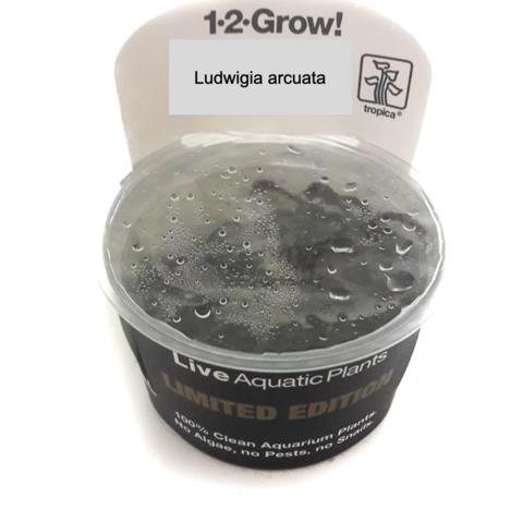 Limited Edition: Ludwigia arcuata