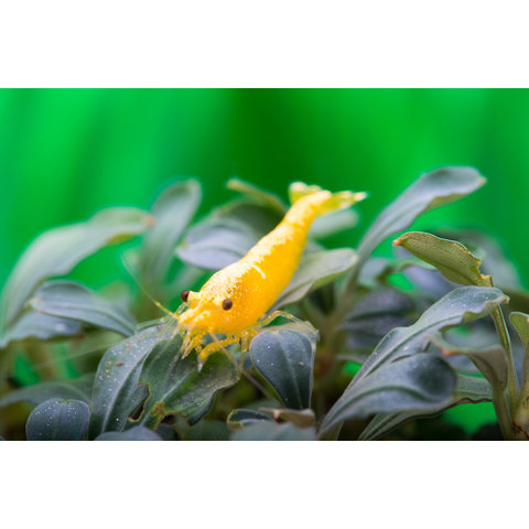 Yellow Fire NEON - Neocaridina davidi var. yellow
