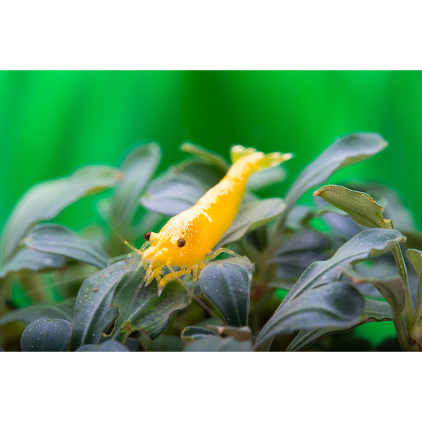 Garnelenmarkt Yellow Fire NEON - Neocaridina davidi var. yellow