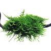Vesicularia montagnei 'Christmas' auf Wurzel
