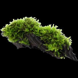 Tropica Vesicularia montagnei 'Christmas' auf Wurzel