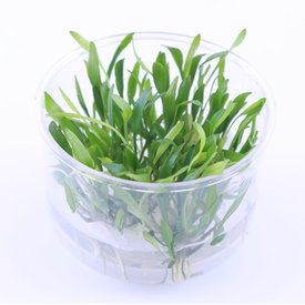 Tropica Limited edition: Cryptocoryne lucens
