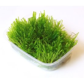 Tropica Limited Edition: Taxiphyllum alternans 'Taiwan moss' - Portion