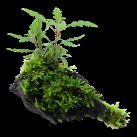 Tropica Hygrophila pinnatifida und Moos auf Wurzel
