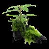 Hygrophila pinnatifida und Moos auf Wurzel