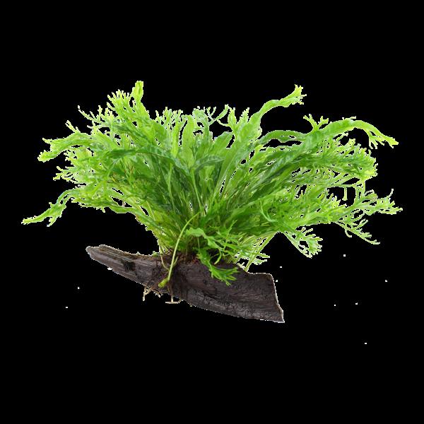 Tropica Microsorum pteropus 'Windeløv' auf Wurzel