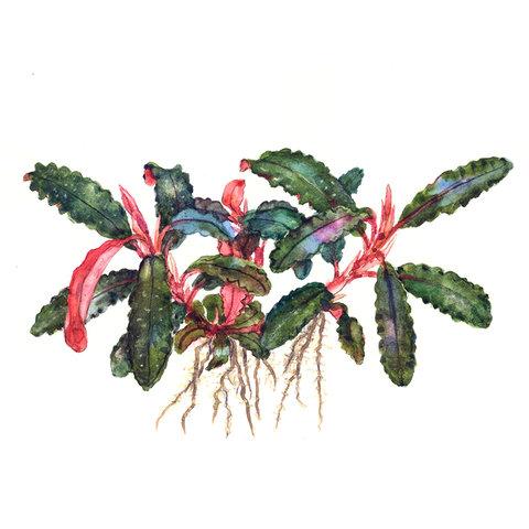 Bucephalandra 'Kedagang' - InVitro