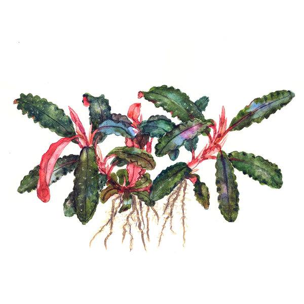 Tropica Bucephalandra 'Kedagang' - InVitro