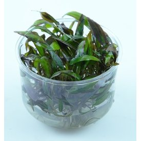 Tropica Limited edition: Cryptocoryne affinis 'Red'