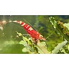 """10er Gruppe Rote Tibee / Red Fancy """"Red Selection"""""""
