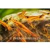 Golden Tiger , Tangerine Tiger - Caridina cf. Cantonensis - Copy