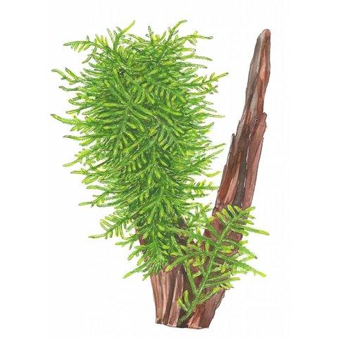 Taxiphyllum 'Spiky' - Portion
