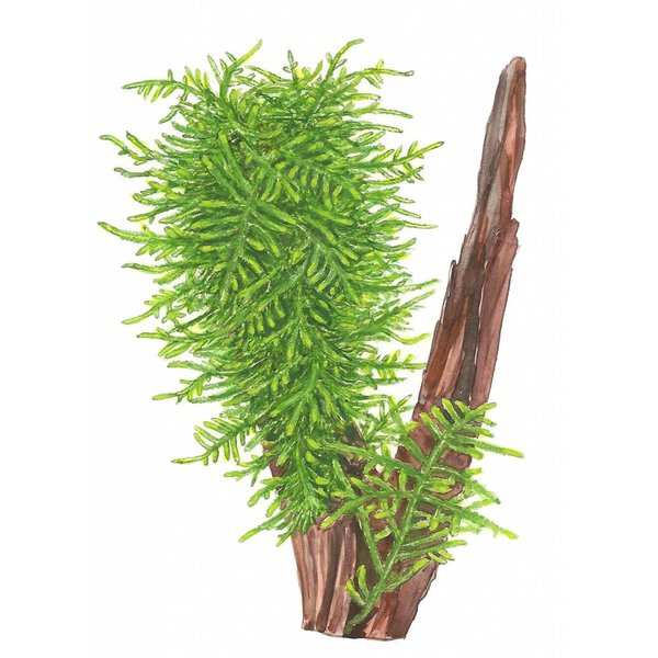Tropica Taxiphyllum 'Spiky' - Portion
