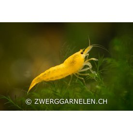 Garnelenmarkt Yellow Fire - Neocaridina davidi var. yellow