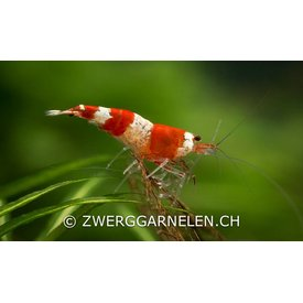 Garnelenmarkt Red Bee K4