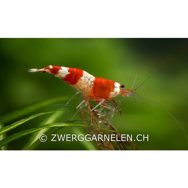Garnelenmarkt Red Bee K4
