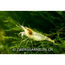 Garnelenmarkt Weisse Bienengarnele, Ghost Bee