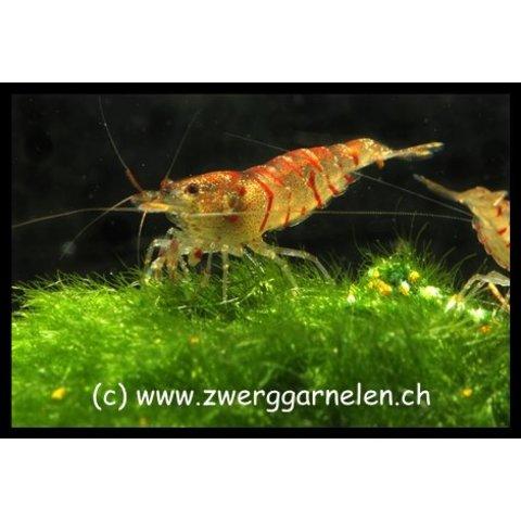 Rote Tigergarnele, Red Tiger - Caridina cf. cantonensis