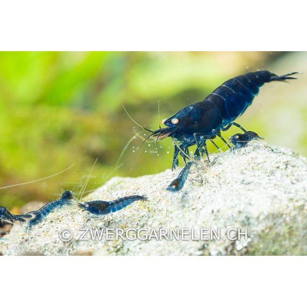 Garnelenmarkt Royal Blue Tiger - Caridina cf cantonensis