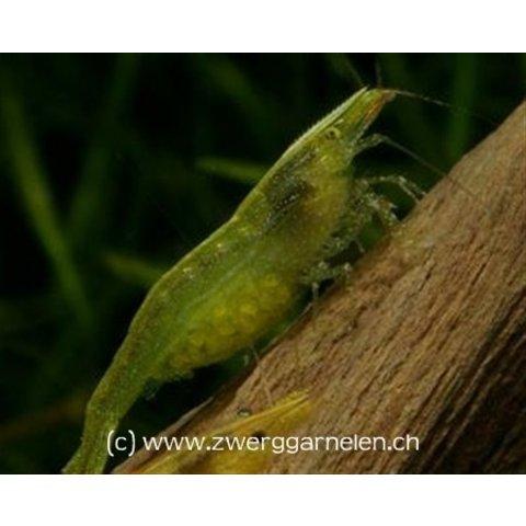 Grüne Zwerggarnele - Caridina cf. babaulti Green