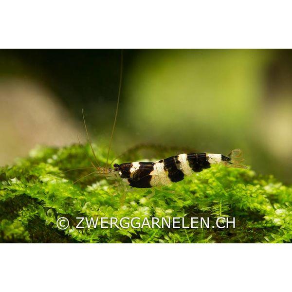 Garnelenmarkt Princess Bee - Paracaridina spec.