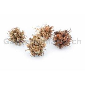 GM-Natur Hexennüsse premium Qualität, 3-4 Stück