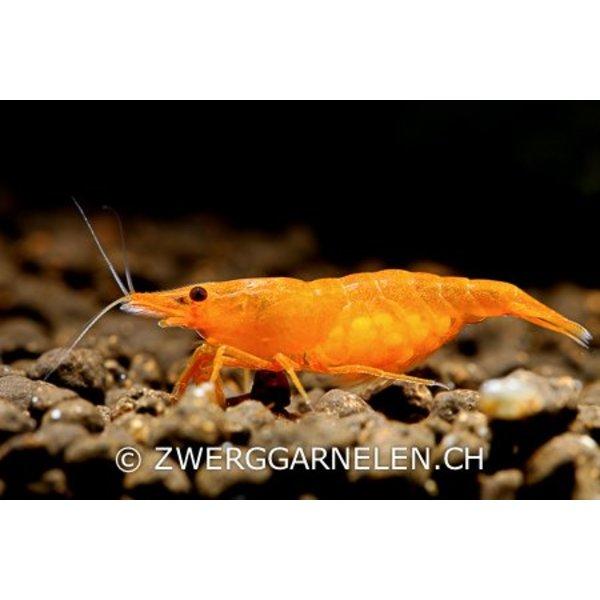 Garnelenmarkt Orange Fire - Neocaridina davidi var. orange