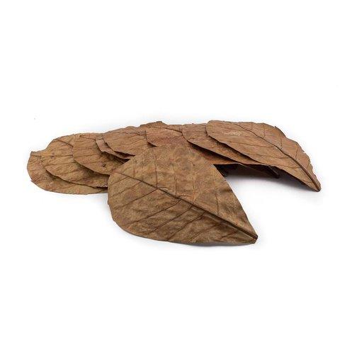 Seemandelbaumblätter 10-15cm
