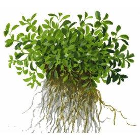 Tropica Glossostigma elatinoides