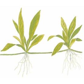 Tropica Helanthium 'Quadricostatus'
