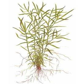 Tropica Heteranthera zosterifolia